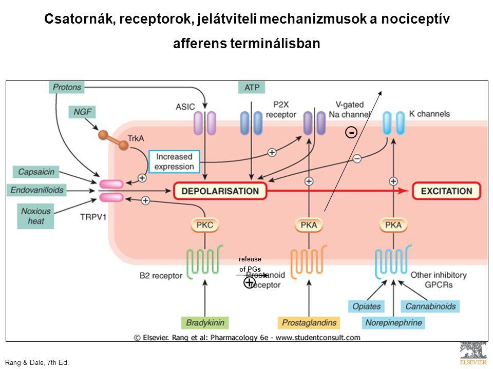 release of PGs + - Csatornák, receptorok, jelátviteli mechanizmusok a nociceptív afferens terminálisban Rang & Dale, 7th Ed.