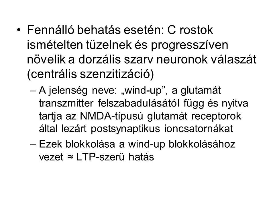 """Fennálló behatás esetén: C rostok ismételten tüzelnek és progresszíven növelik a dorzális szarv neuronok válaszát (centrális szenzitizáció) –A jelenség neve: """"wind-up , a glutamát transzmitter felszabadulásától függ és nyitva tartja az NMDA-típusú glutamát receptorok által lezárt postsynaptikus ioncsatornákat –Ezek blokkolása a wind-up blokkolásához vezet ≈ LTP-szerű hatás"""