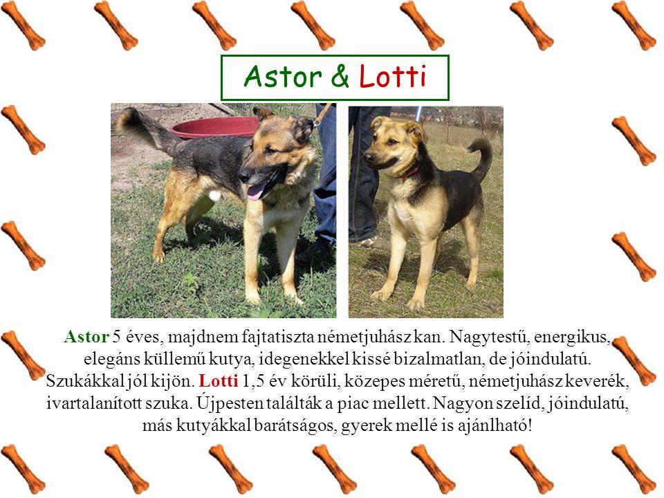 Astor 5 éves, majdnem fajtatiszta németjuhász kan.