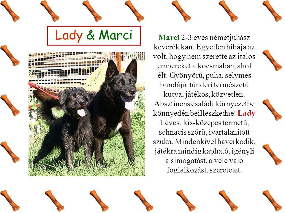 Marci 2-3 éves németjuhász keverék kan.