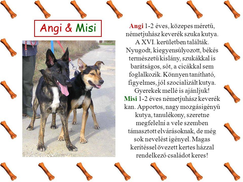 Angi & Misi Angi 1-2 éves, közepes méretű, németjuhász keverék szuka kutya.