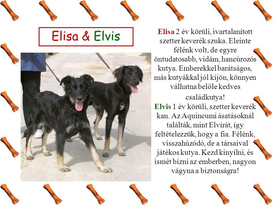 Elisa & Elvis Elisa 2 év körüli, ivartalanított szetter keverék szuka.