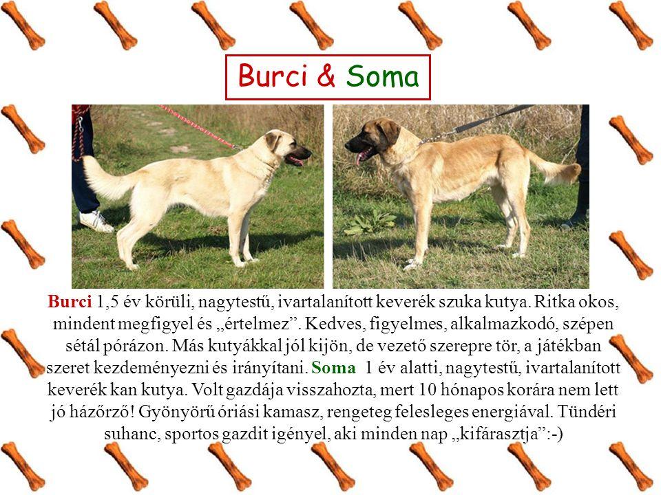 Burci & Soma Burci 1,5 év körüli, nagytestű, ivartalanított keverék szuka kutya.