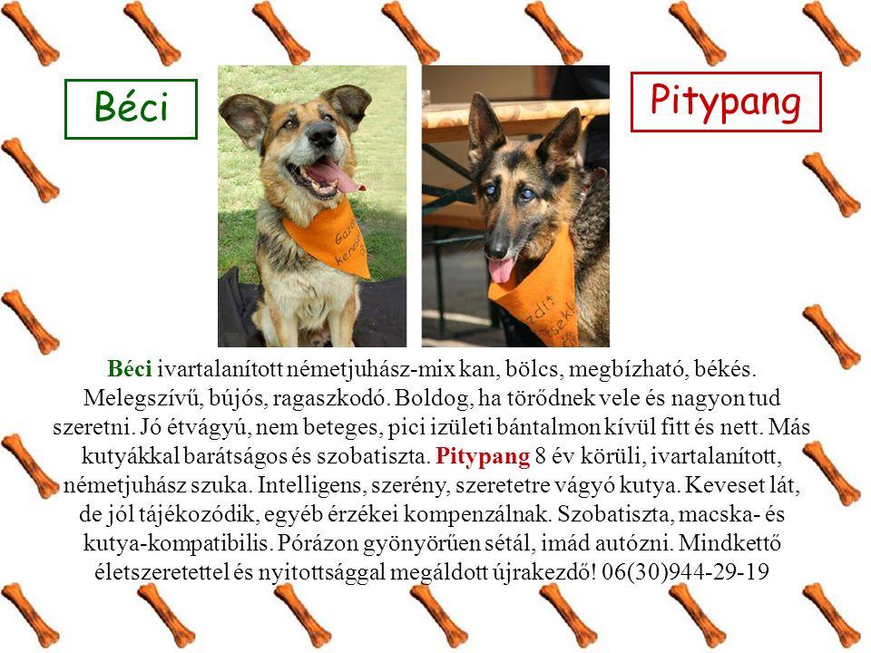 Béci Pitypang Béci ivartalanított németjuhász-mix kan, bölcs, megbízható, békés.