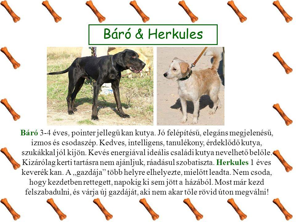 Báró 3-4 éves, pointer jellegű kan kutya. Jó felépítésű, elegáns megjelenésű, izmos és csodaszép.