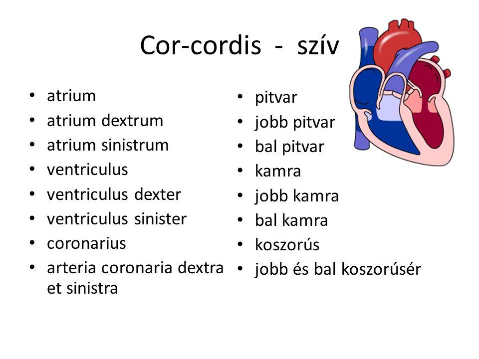 Cor-cordis - szív atrium atrium dextrum atrium sinistrum ventriculus ventriculus dexter ventriculus sinister coronarius arteria coronaria dextra et sinistra pitvar jobb pitvar bal pitvar kamra jobb kamra bal kamra koszorús jobb és bal koszorúsér