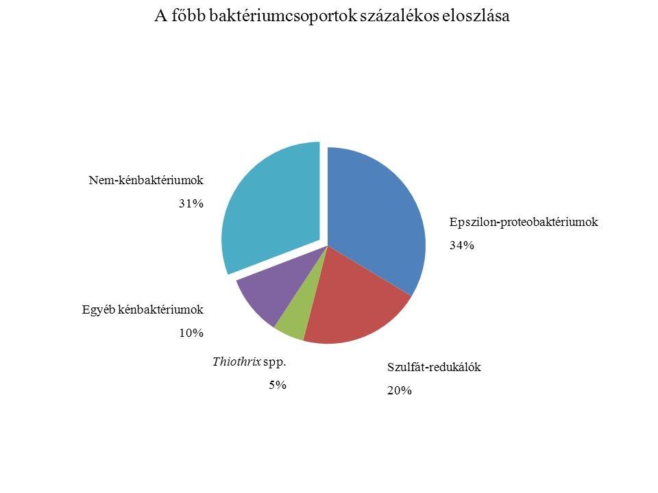 A főbb baktériumcsoportok százalékos eloszlása Epszilon-proteobaktériumok 34% Szulfát-redukálók 20% Thiothrix spp.