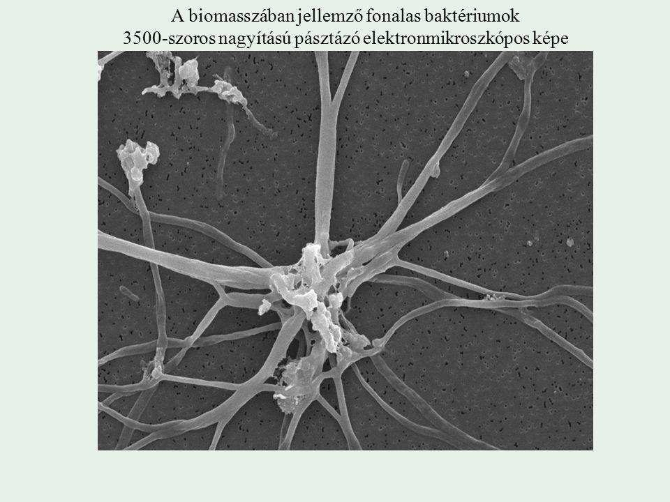 A biomasszában jellemző fonalas baktériumok 3500-szoros nagyítású pásztázó elektronmikroszkópos képe