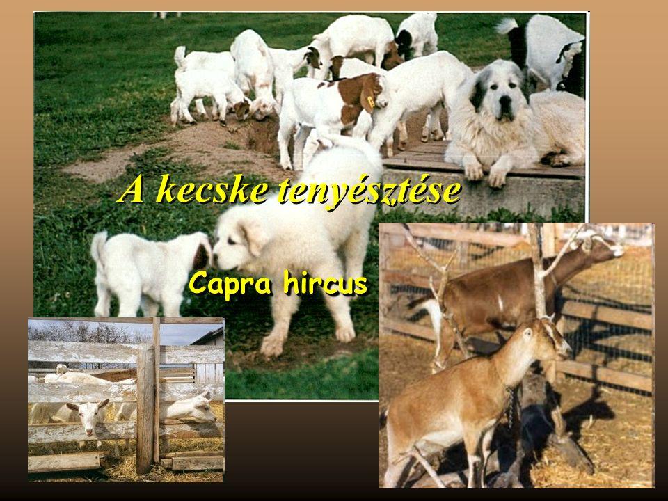 A kecske tenyésztése Capra hircus