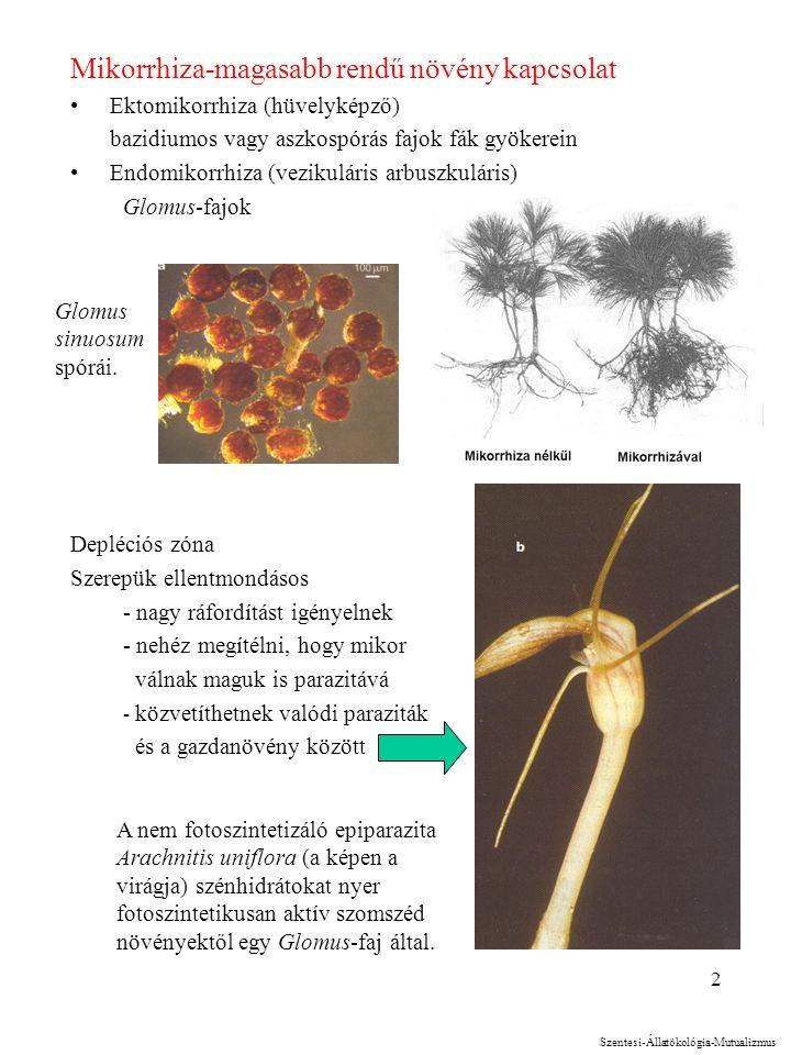 2 Mikorrhiza-magasabb rendű növény kapcsolat Ektomikorrhiza (hüvelyképző) bazidiumos vagy aszkospórás fajok fák gyökerein Endomikorrhiza (vezikuláris arbuszkuláris) Glomus-fajok Depléciós zóna Szerepük ellentmondásos - nagy ráfordítást igényelnek - nehéz megítélni, hogy mikor válnak maguk is parazitává - közvetíthetnek valódi paraziták és a gazdanövény között A nem fotoszintetizáló epiparazita Arachnitis uniflora (a képen a virágja) szénhidrátokat nyer fotoszintetikusan aktív szomszéd növényektől egy Glomus-faj által.