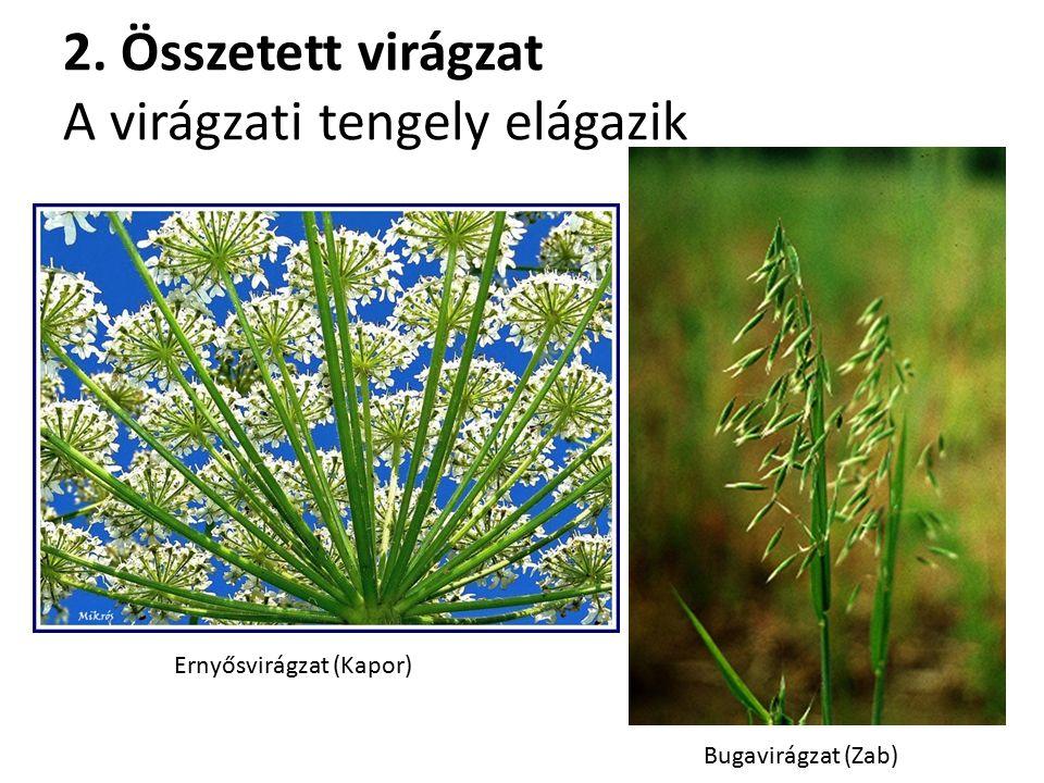 2. Összetett virágzat A virágzati tengely elágazik Bugavirágzat (Zab) Ernyősvirágzat (Kapor)
