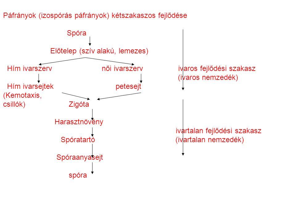 Páfrányok (izospórás páfrányok) kétszakaszos fejlődése Spóra Előtelep (szív alakú, lemezes) Hím ivarszerv női ivarszerv ivaros fejlődési szakasz (ivaros nemzedék) Hím ivarsejtek petesejt (Kemotaxis, csillók) Zigóta Harasztnövény ivartalan fejlődési szakasz Spóratartó (ivartalan nemzedék) Spóraanyasejt spóra