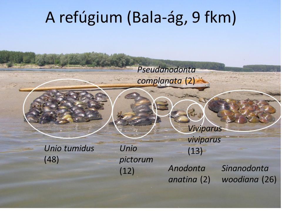 A refúgium (Bala-ág, 9 fkm) Unio tumidus (48) Unio pictorum (12) Anodonta anatina (2) Pseudanodonta complanata (2) Viviparus viviparus (13) Sinanodonta woodiana (26)
