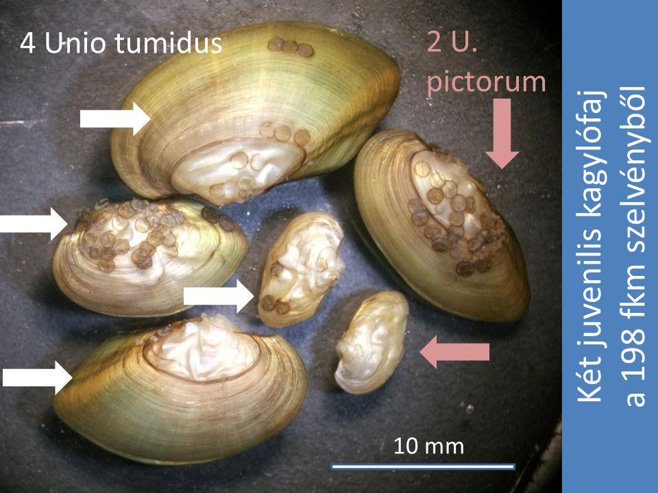 Két juvenilis kagylófaj a 198 fkm szelvényből 4 Unio tumidus CV 2 U. pictorum 10 mm