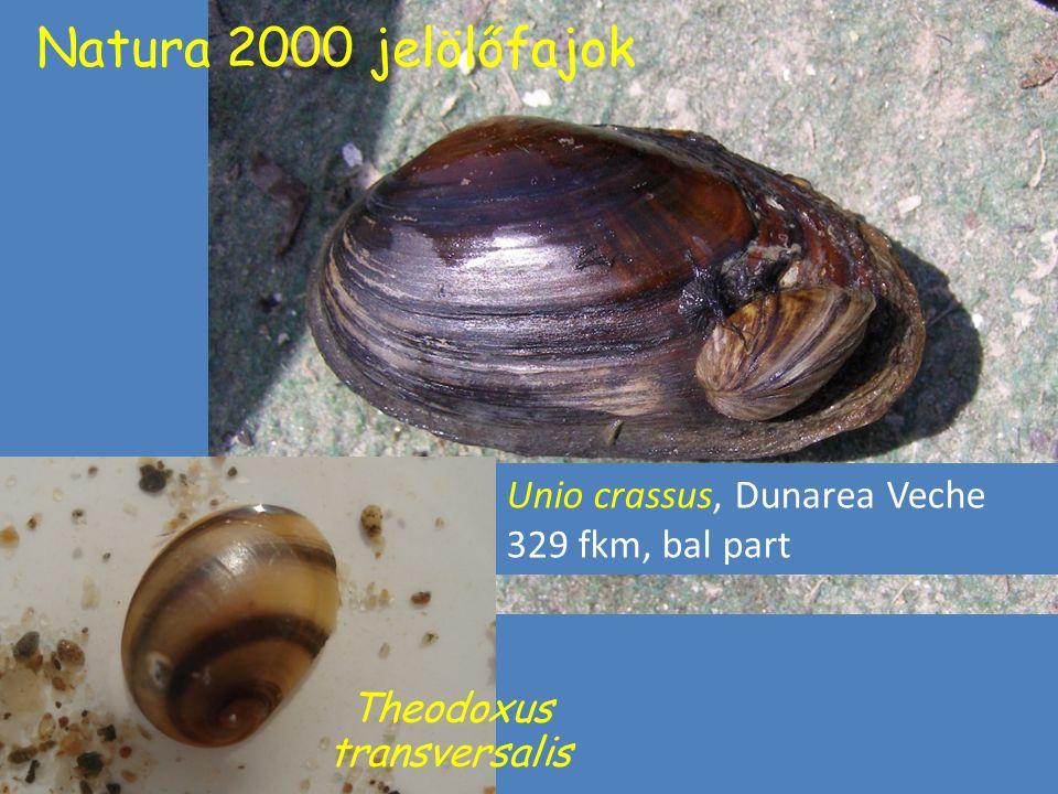 Natura 2000 jelölőfajok Theodoxus transversalis Unio crassus Unio crassus, Dunarea Veche 329 fkm, bal part