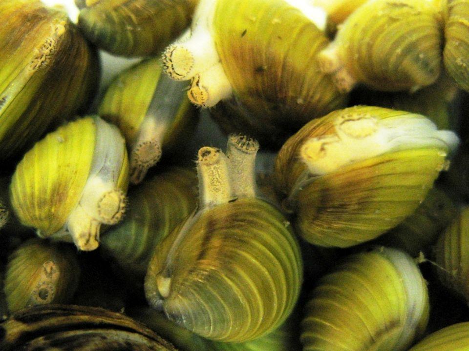 Invazív fajok: Corbicula fluminea