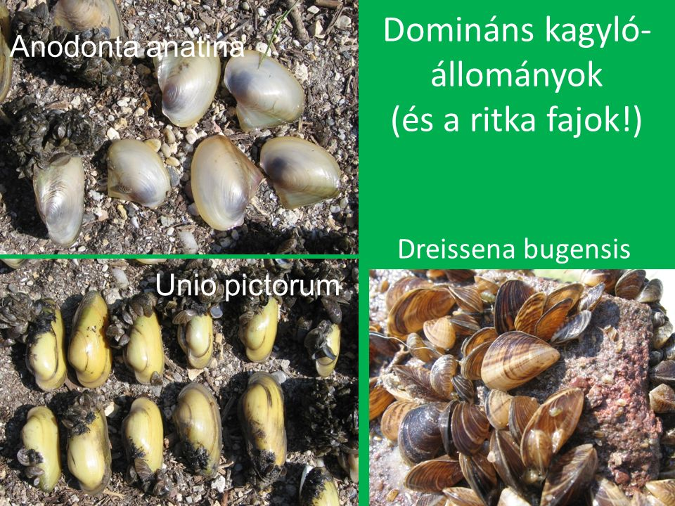 Domináns kagyló- állományok (és a ritka fajok!) Dreissena bugensis Anodonta anatina Unio pictorum