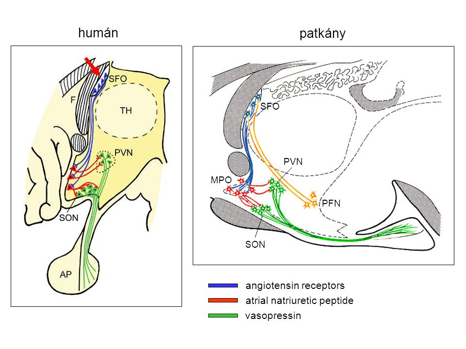 angiotensin receptors atrial natriuretic peptide vasopressin SON PVN PFN SFO MPO humán patkány