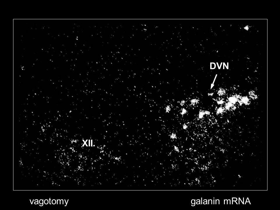 vagotomygalanin mRNA XII. DVN