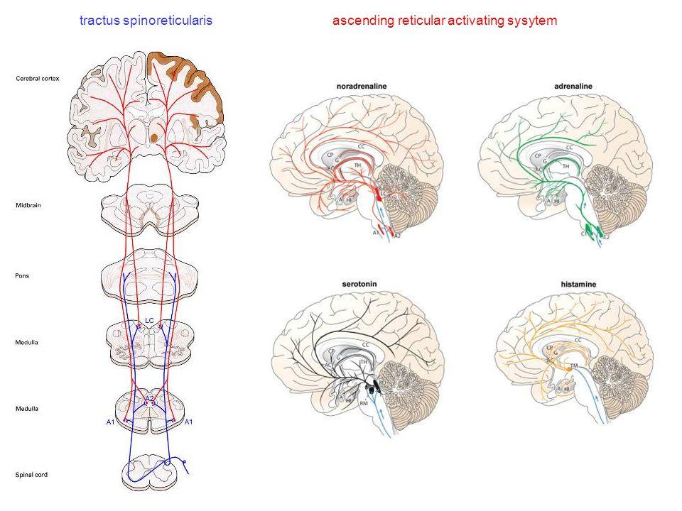 tractus spinoreticularis ascending reticular activating sysytem
