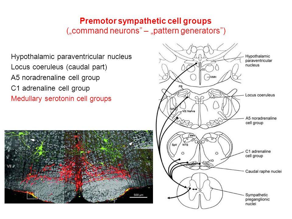 "Hypothalamic paraventricular nucleus Locus coeruleus (caudal part) A5 noradrenaline cell group C1 adrenaline cell group Medullary serotonin cell groups Premotor sympathetic cell groups (""command neurons – ""pattern generators )"