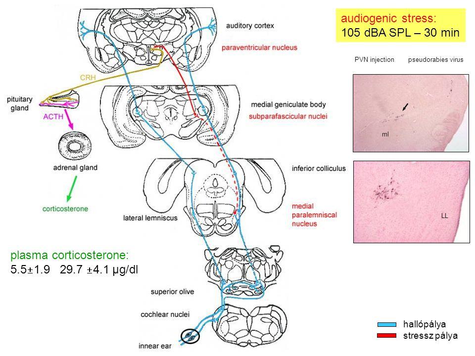 plasma corticosterone: 5.5  1.9 29.7  4.1 μg/dl audiogenic stress: 105 dBA SPL – 30 min LL ml PVN injection pseudorabies virus hallópálya stressz pálya