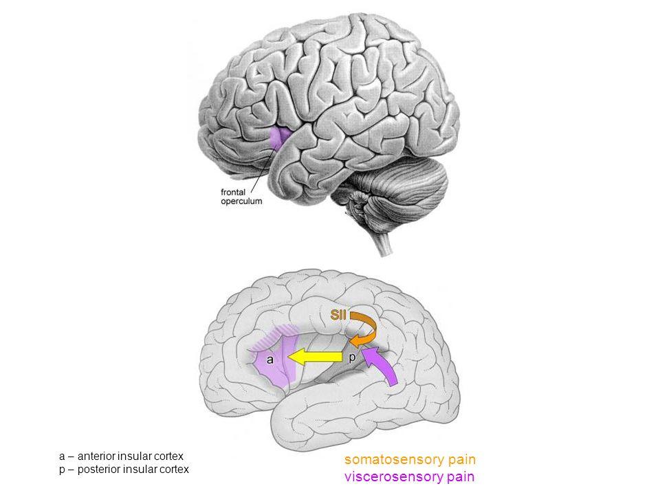 somatosensory pain viscerosensory pain a – anterior insular cortex p – posterior insular cortex