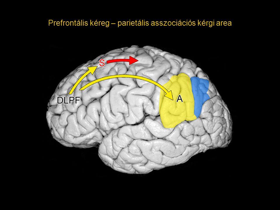 Prefrontális kéreg – parietális asszociációs kérgi area
