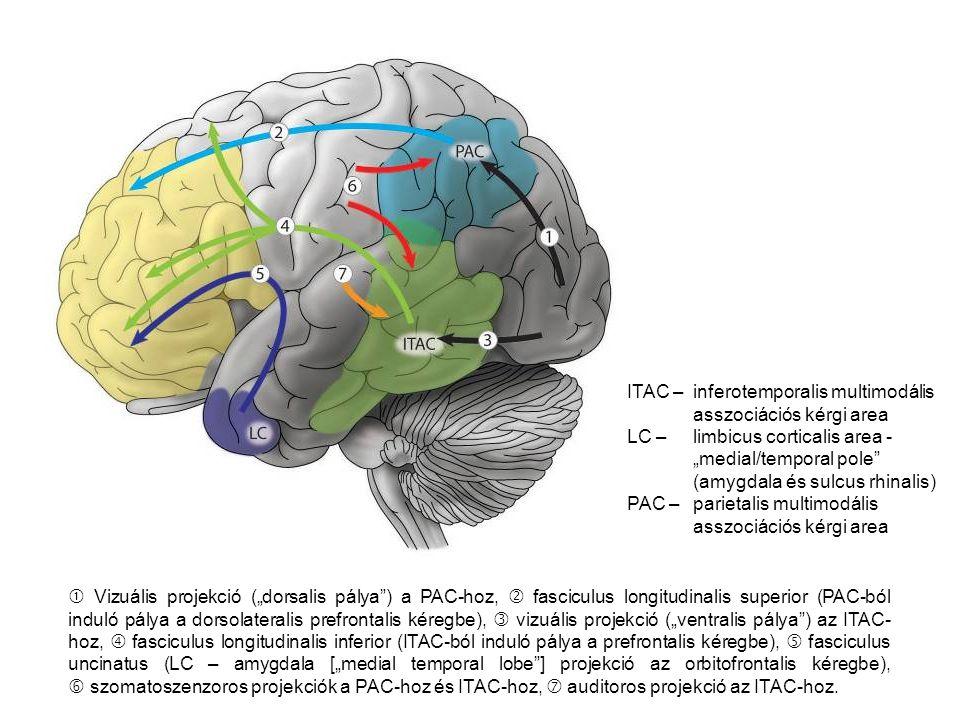 " Vizuális projekció (""dorsalis pálya ) a PAC-hoz,  fasciculus longitudinalis superior (PAC-ból induló pálya a dorsolateralis prefrontalis kéregbe),  vizuális projekció (""ventralis pálya ) az ITAC- hoz,  fasciculus longitudinalis inferior (ITAC-ból induló pálya a prefrontalis kéregbe),  fasciculus uncinatus (LC – amygdala [""medial temporal lobe ] projekció az orbitofrontalis kéregbe),  szomatoszenzoros projekciók a PAC-hoz és ITAC-hoz,  auditoros projekció az ITAC-hoz."