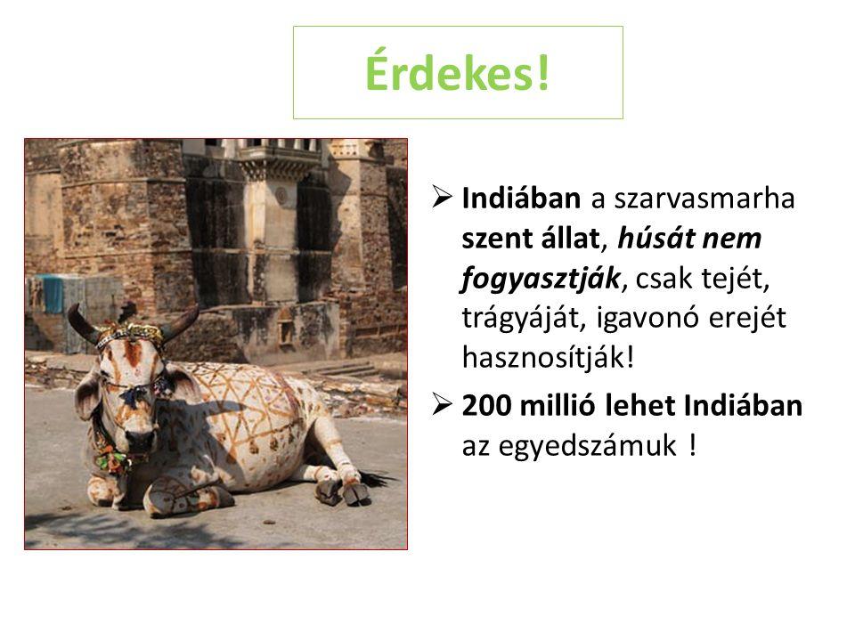 Érdekes!  Indiában a szarvasmarha szent állat, húsát nem fogyasztják, csak tejét, trágyáját, igavonó erejét hasznosítják!  200 millió lehet Indiában