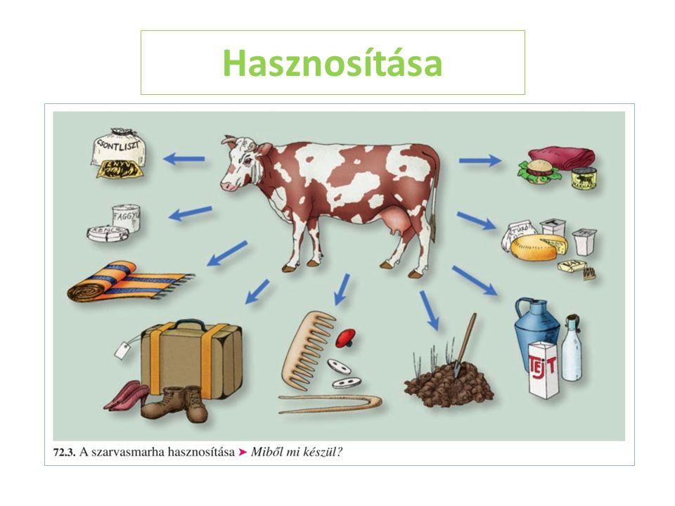 Haszna Kukoricatermő vidékeken tenyésztik nagy mennyiségben!