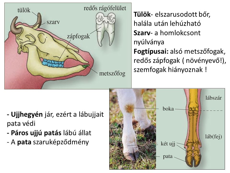 Tülök- elszarusodott bőr, halála után lehúzható Szarv- a homlokcsont nyúlványa Fogtípusai: alsó metszőfogak, redős zápfogak ( növényevő!), szemfogak h