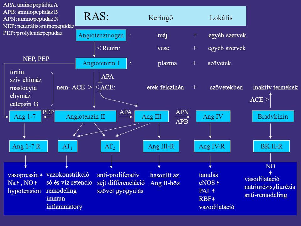 RAS: Keringő Lokális Angiotenzinogén : máj + egyéb szervek < Renin: vese + egyéb szervek Angiotenzin I : plazma + szövetek Angiotenzin IIAng 1-7 PEP A