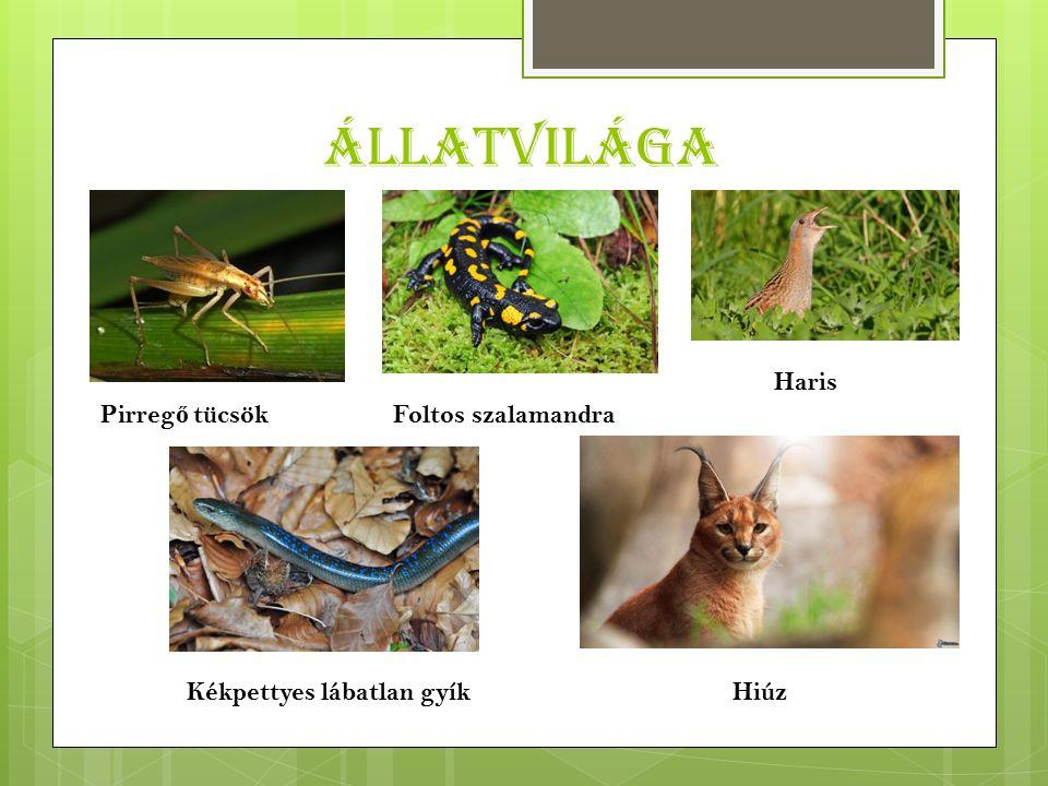 Állatvilága Pirreg ő tücsökFoltos szalamandra Haris HiúzKékpettyes lábatlan gyík