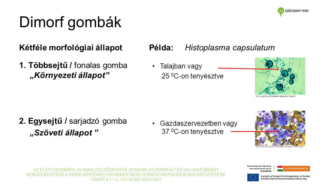 """Kétféle morfológiai állapot 1.Többsejtű / fonalas gomba """"Környezeti állapot"""" 2. Egysejtű / sarjadzó gomba """"Szöveti állapot """" Példa: Histoplasma capsul"""