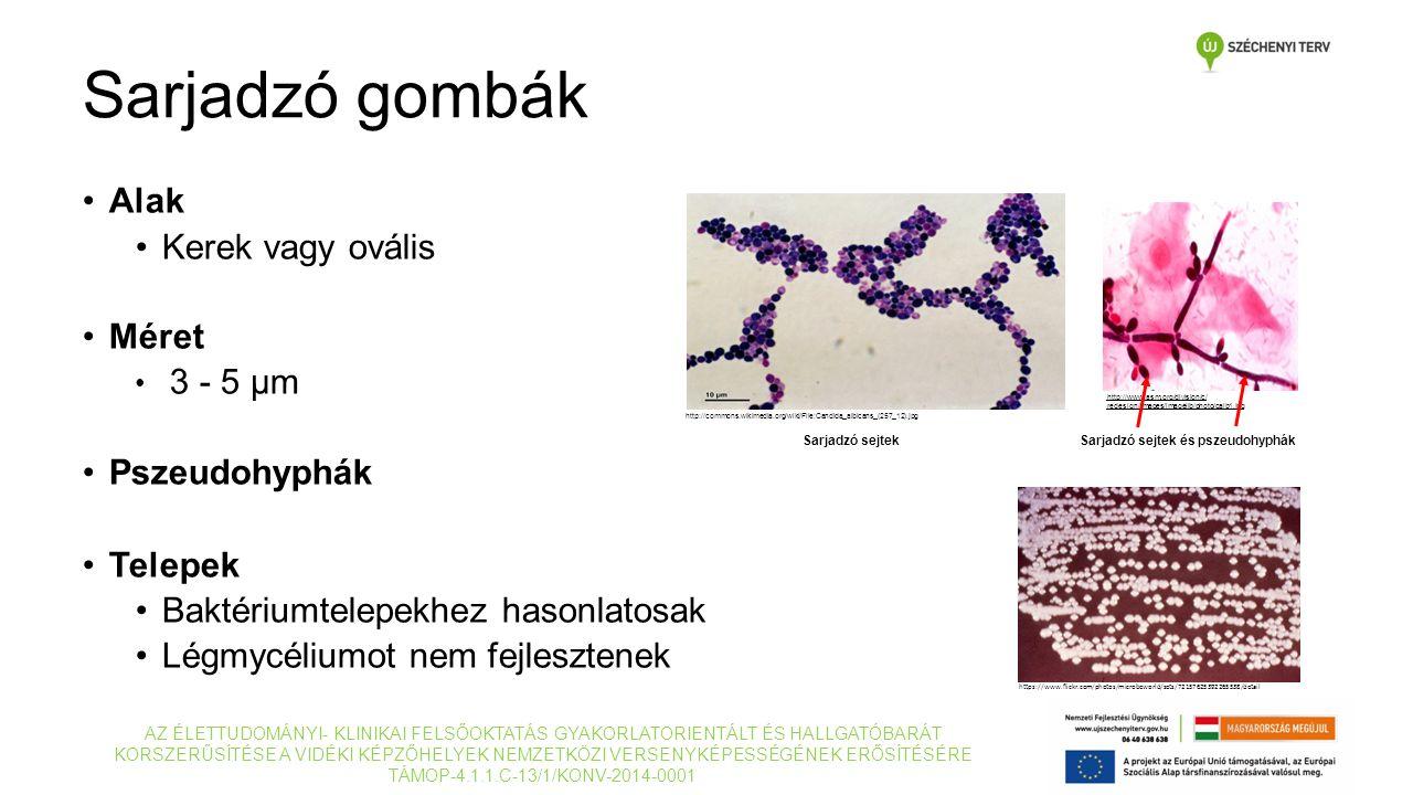 Alak Kerek vagy ovális Méret 3 - 5 μm Pszeudohyphák Telepek Baktériumtelepekhez hasonlatosak Légmycéliumot nem fejlesztenek http://www.asm.org/divisio
