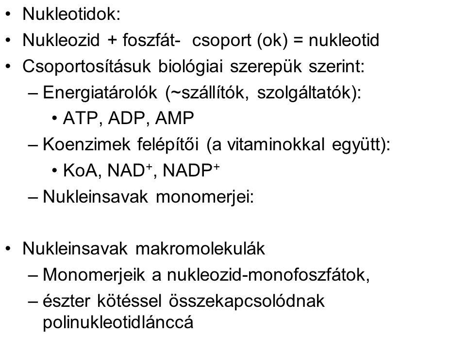 Nukleotidok: Nukleozid + foszfát- csoport (ok) = nukleotid Csoportosításuk biológiai szerepük szerint: –Energiatárolók (~szállítók, szolgáltatók): ATP, ADP, AMP –Koenzimek felépítői (a vitaminokkal együtt): KoA, NAD +, NADP + –Nukleinsavak monomerjei: Nukleinsavak makromolekulák –Monomerjeik a nukleozid-monofoszfátok, –észter kötéssel összekapcsolódnak polinukleotidlánccá