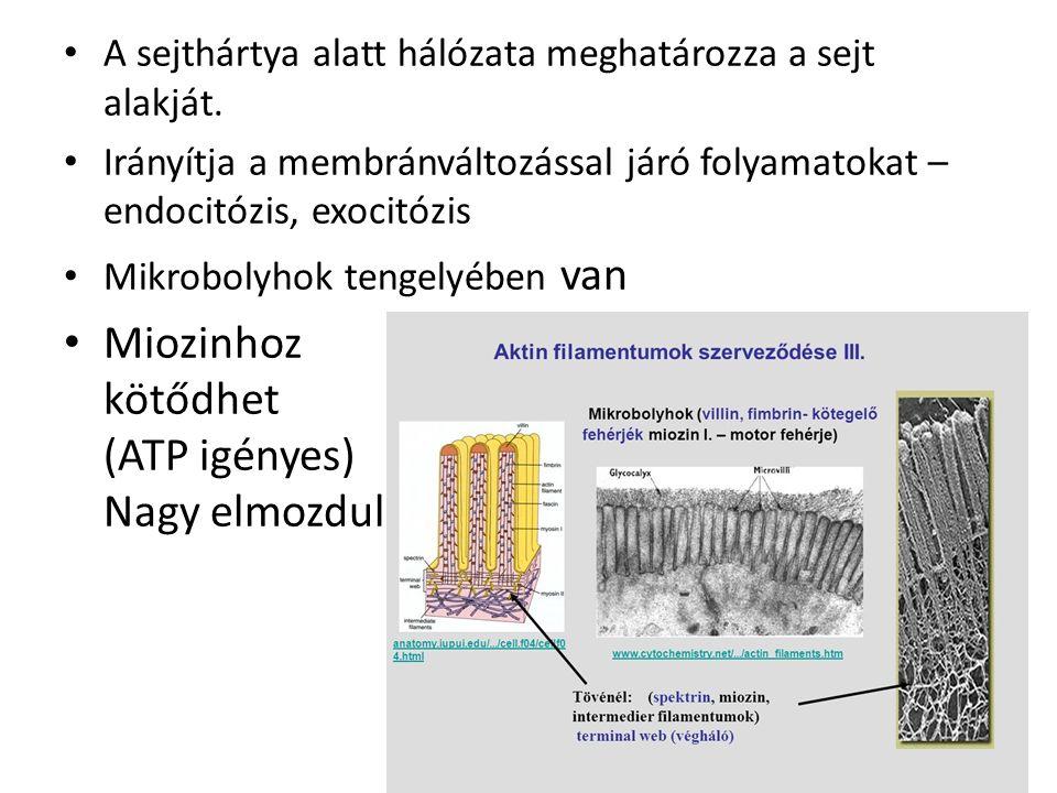"""Miozin – ATP-ase aktivitású szabályozó fehérje Sejten belüli mozgásoknál pl.: a miozin rögzített struktúrához köt, az aktin ehhez képest mozdít el - lasszó Hólyagot fog és az aktinon """"végigsétál - transzport"""