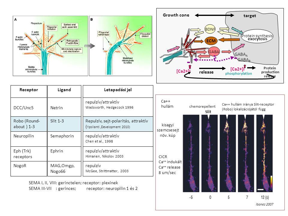 LigandLetapadási jel Netrin repulzív/attraktív Wadsworth, Hedgecock 1996 Slit 1-3Repulzív, sejt-polaritás, attraktív ( Ypsilanti,Development 2010) Semaphorinrepulzív/attraktív Chen et al., 1998 Ephrinrepulzív/attraktív Himanen, Nikolov 2003 Receptor DCC/Unc5 Robo (Round- about ) 1-3 Neuropilin Eph (Trk) receptors NogoRMAG,Omgp, Nogo66 repulzív McGee, Strittmatter, 2003 SEMA I, II, VIII: gerinctelen; receptor: plexinek SEMA III-VII : gerinces;receptor: neuropilin 1 és 2 Ca++ hullám chemorepellent Slit Ibanez 2007 kisagyi szemcsesejt növ.