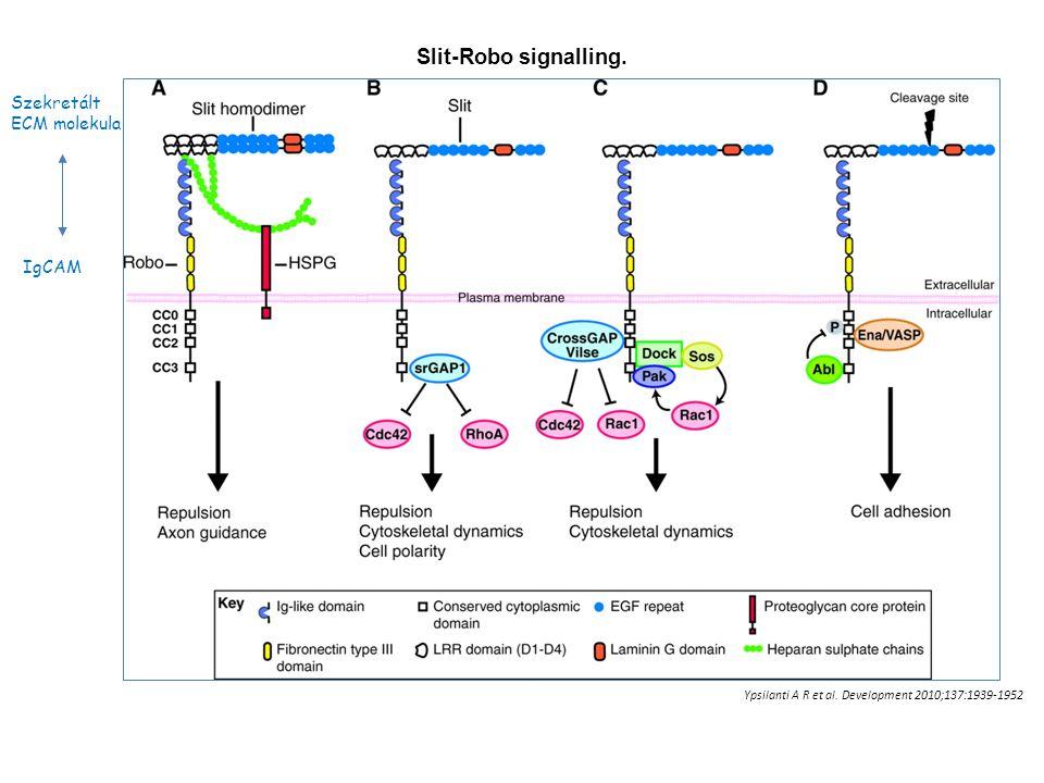 Slit-Robo signalling. Ypsilanti A R et al. Development 2010;137:1939-1952 IgCAM Szekretált ECM molekula