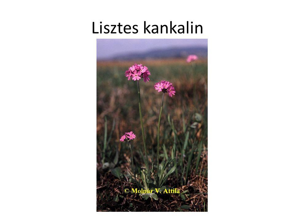 Lisztes kankalin