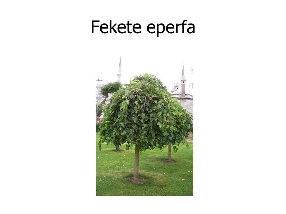 Fekete eperfa