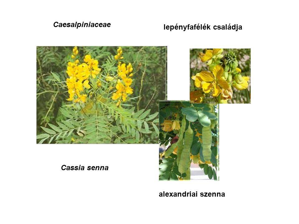 Cassia senna Caesalpiniaceae lepényfafélék családja alexandriai szenna