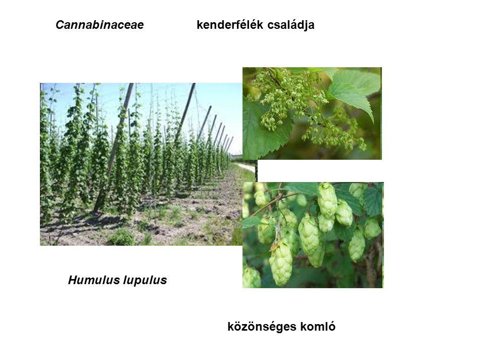 Cannabinaceaekenderfélék családja Humulus lupulus közönséges komló