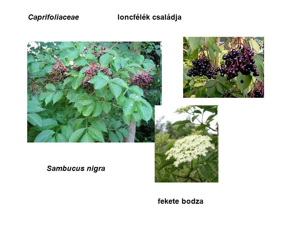 Caprifoliaceaeloncfélék családja Sambucus nigra fekete bodza