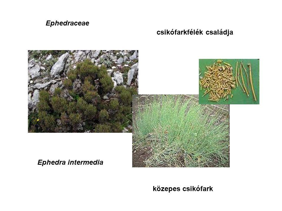 közepes csikófark Ephedra intermedia Ephedraceae csikófarkfélék családja