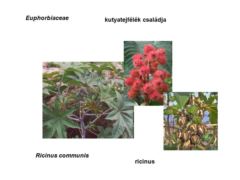 Euphorbiaceae kutyatejfélék családja Ricinus communis ricinus