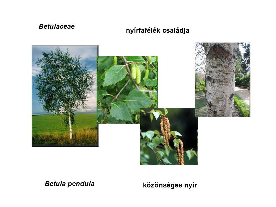 Betulaceae nyírfafélék családja Betula pendula közönséges nyír