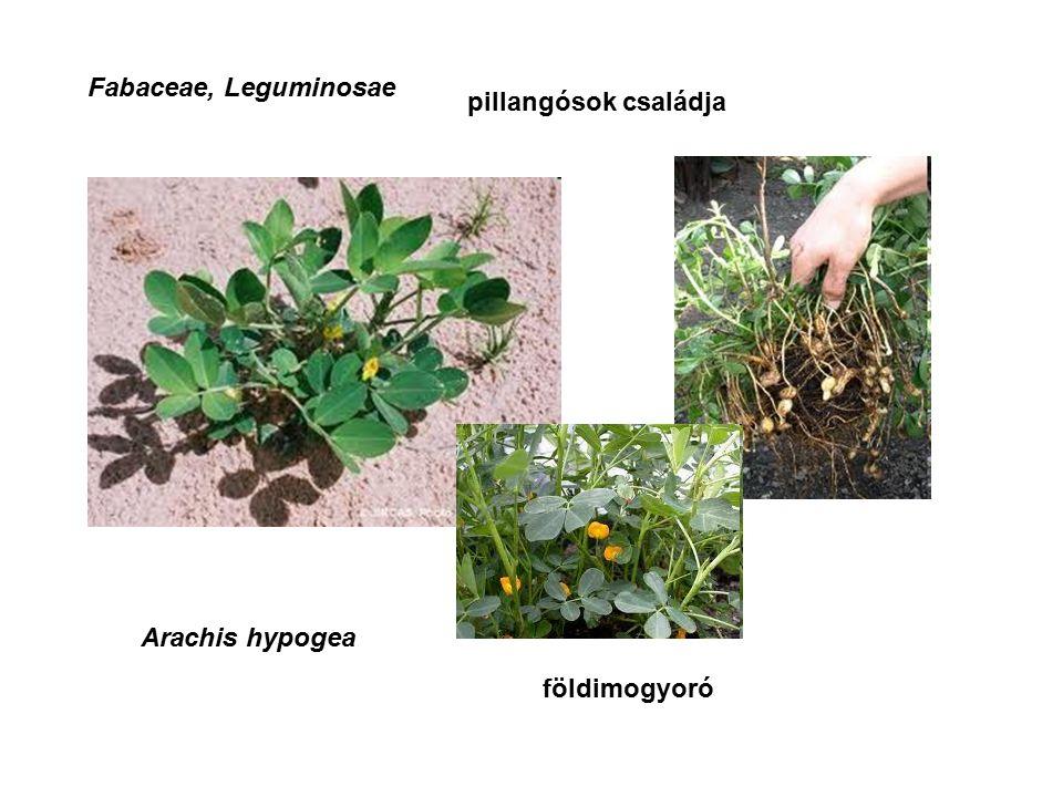 Fabaceae, Leguminosae Arachis hypogea pillangósok családja földimogyoró