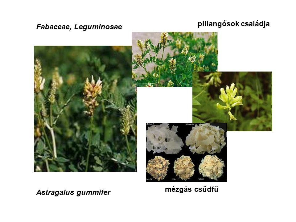 Fabaceae, Leguminosae Astragalus gummifer mézgás csűdfű pillangósok családja